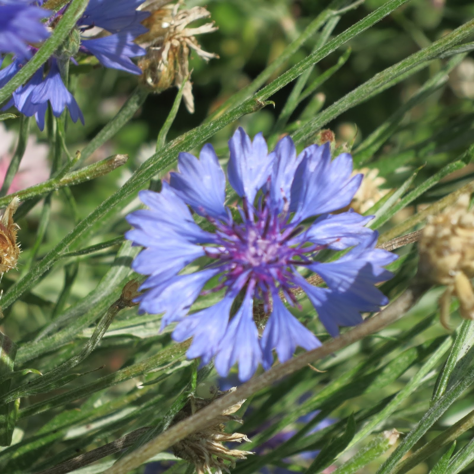 A Wandering Botanist Plant Story Bachelor Buttons And Cornflowers