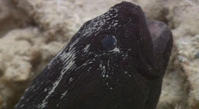 Blog safari club,video del Pholidichthys leucotaenia, el arquitecto marino