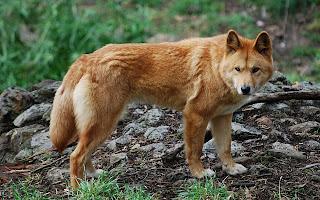 Dingo Wallpaper