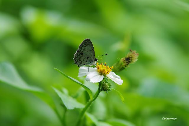 雞南山蝴蝶散步,台灣黑星小灰蝶