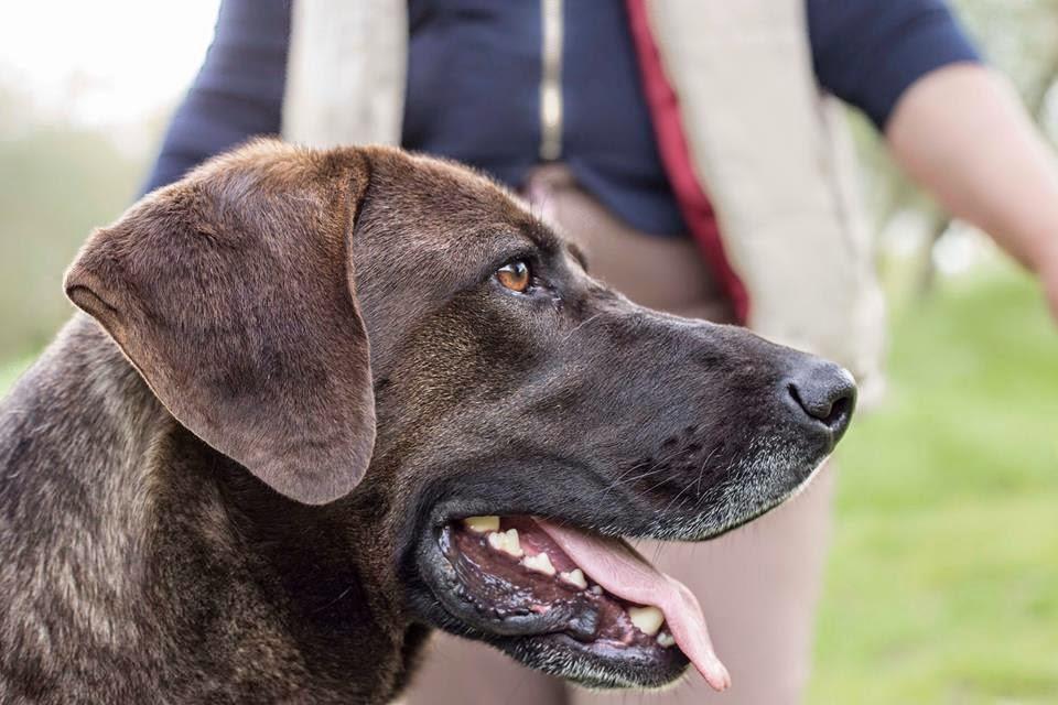 Cesare,derivato Labrador,2 anni.Tenuto a catena per fare la guardia