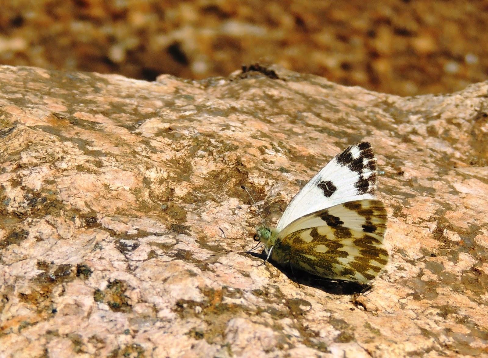 Ápice del par delantero de Pontia daplidice