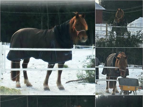 Kuusi ja paju - hyötyjä hevoselle