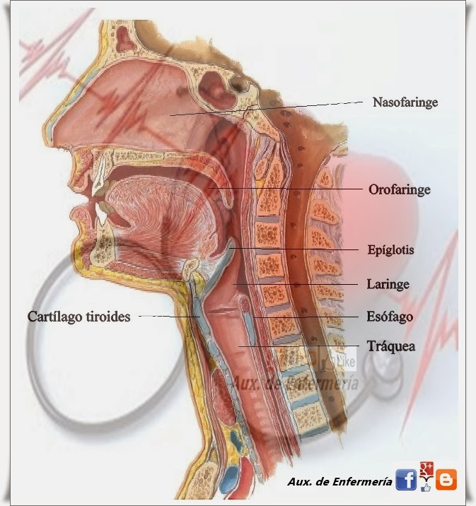 Aux. de Enfermería: Anatomía y fisiología del Aparato Digestivo.