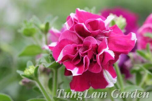 Dạ yến thảo, dạ yến thảo kép, hoa da yen thao kep, dạ yến thảo rủ, hoa ban công, hoa treo ban công, hoa treo, dạ yến thảo TungLam Garden