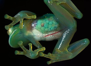 Weirdest Frogs On Earth Transparent Frog