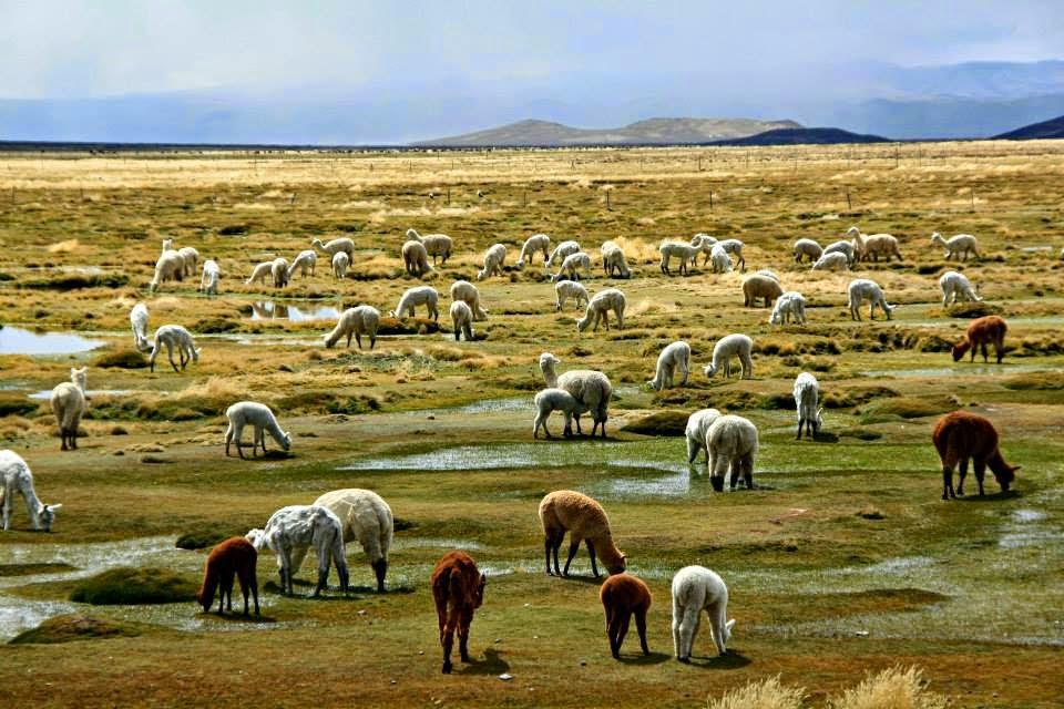 Alpacas en el altiplano arequipeño.
