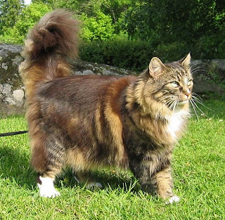 Norwegian Forest Cat Picture