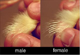 membedakan jenis kelamin