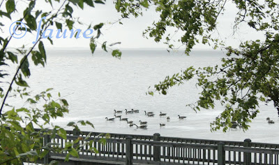 Canada Geese on the sound
