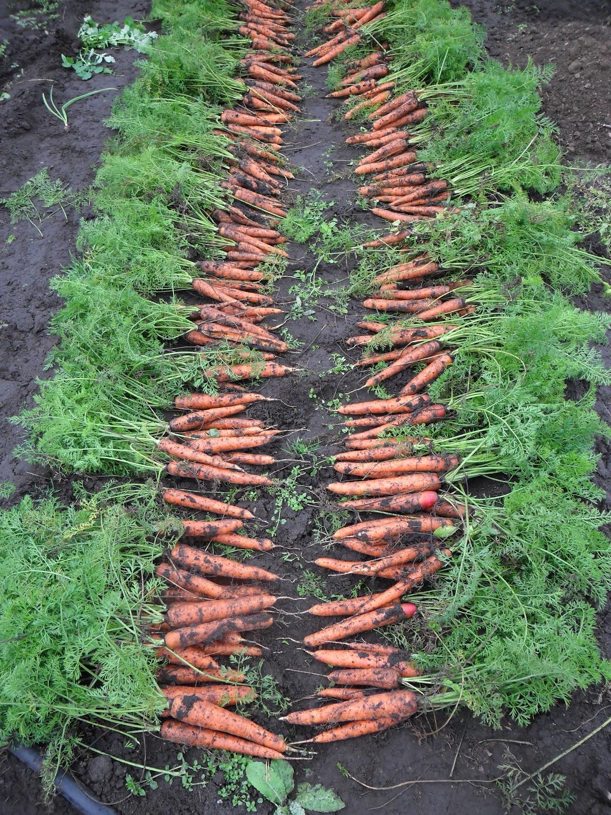 Оборудование для выращивания моркови 39
