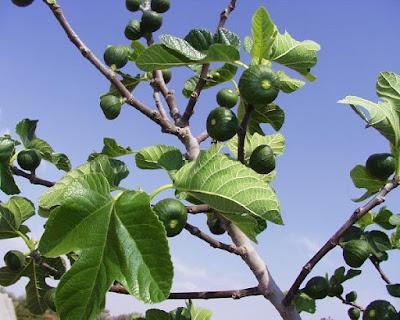 Khasiat daun ara untuk kesehatan dan pengobatan