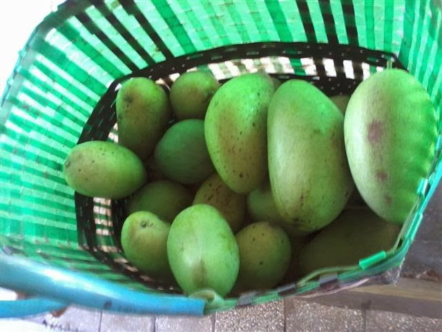 Dapat hampir satu tas besar buah Mangga Gadung dan Mangga Golek.