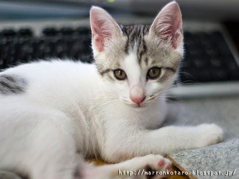 PCの邪魔をする仔猫