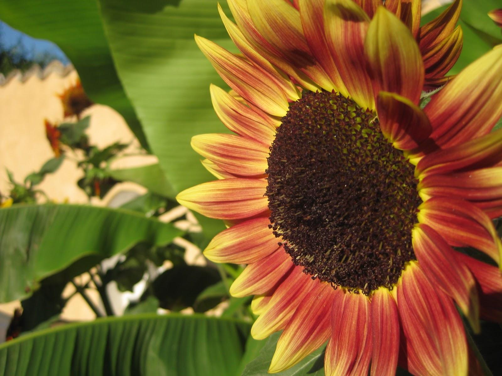 http://2.bp.blogspot.com/-5TcevoLcrOw/TqLrDzPLSAI/AAAAAAAAEMA/Zvz6legi3e8/s1600/Wallpaper-j5-sunflower.jpg