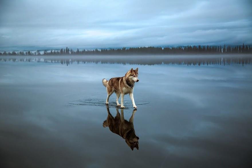 siberian husky playing frozen lake fox grom