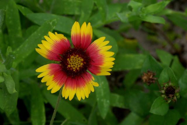 Gaillardia pulchella - Indian Blanket, Firewheel