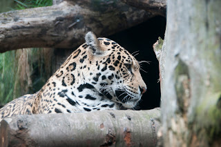 Leopard at Edinburgh Zoo Scotland