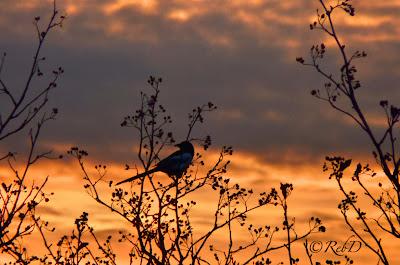 skata i trädtopp i solnedgång. foto: Reb Dutius
