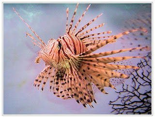 lion fish animal lionfish wallpaper