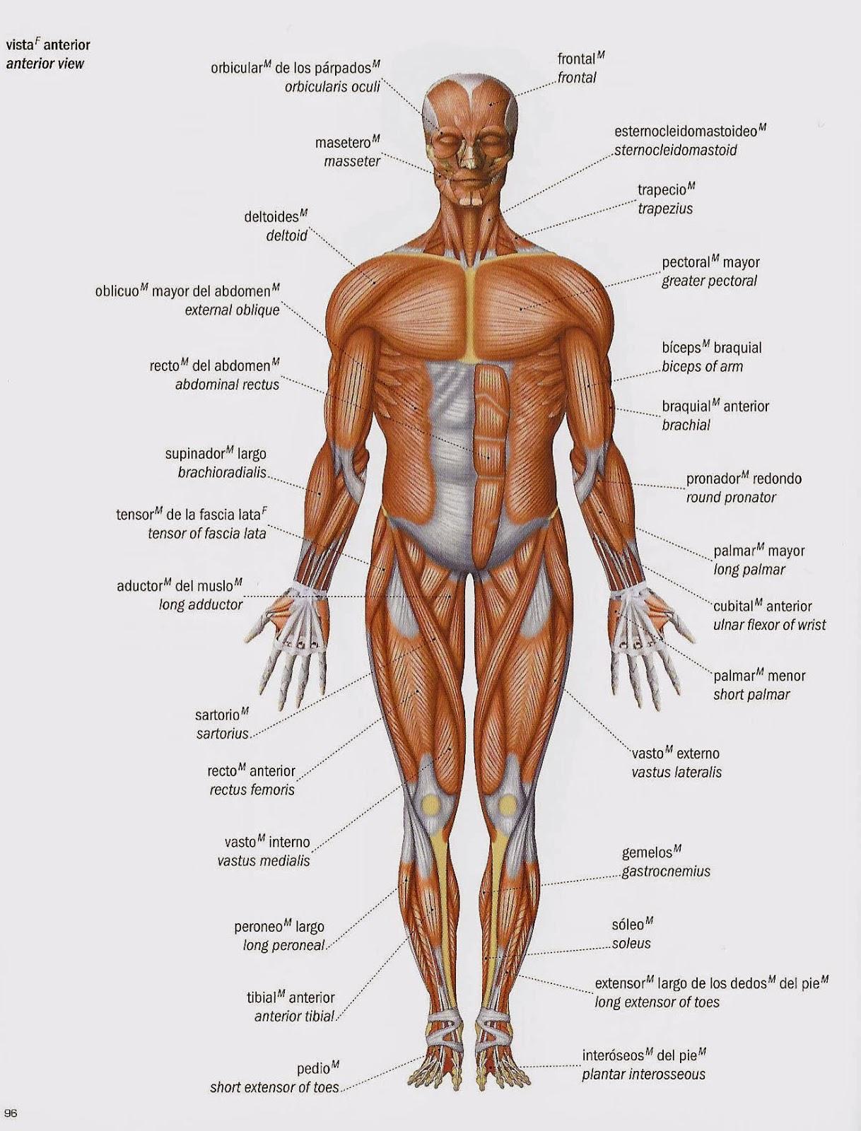 Famoso Anatomía Muscular Frente Viñeta - Imágenes de Anatomía Humana ...