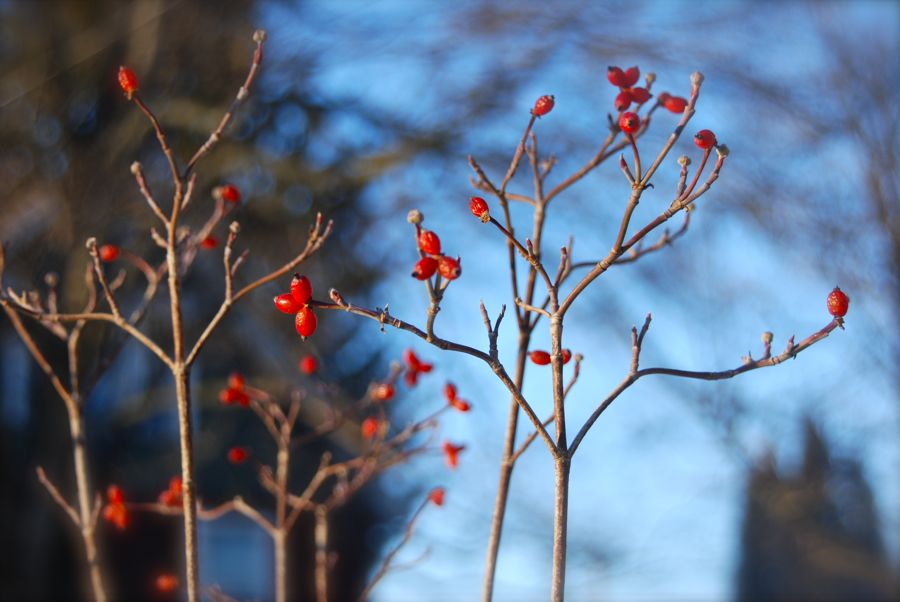 Our native dogwood tree, Cornus florida, with its berries in the low, winter sunlight.