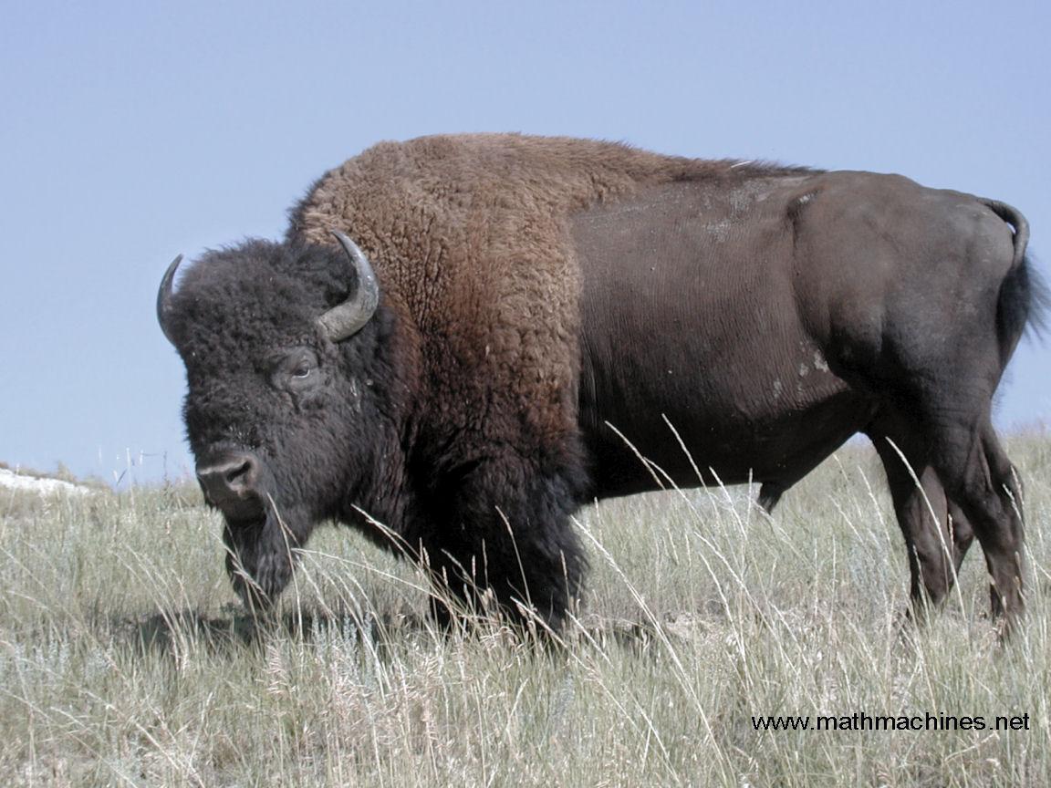 Download Bison Wallpaper - bison-wallpaper-36-757255  Graphic_148526.jpg