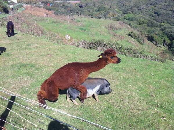 Funny animals of the week - 17 January 2014 (40 pics), llama tries to have sex with pig