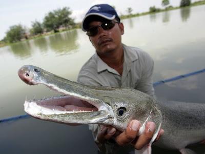 alligator gar%2Bsituslakalaka 9 Monster Sungai Yang Masih Ada Hingga Saat Ini