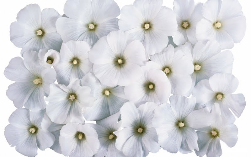 White flower wallpapers 2012 new pictures amazing backgrounds white flower wallpaper mightylinksfo