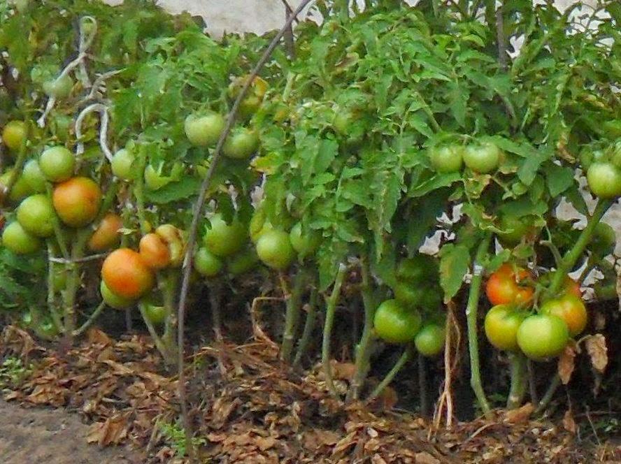 Безрассадные помидорки поспевают.