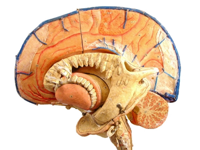Anatomical Brain Model2