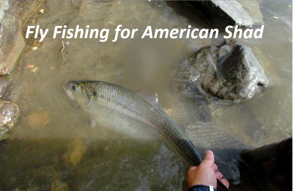 Fly Fishing for American Shad