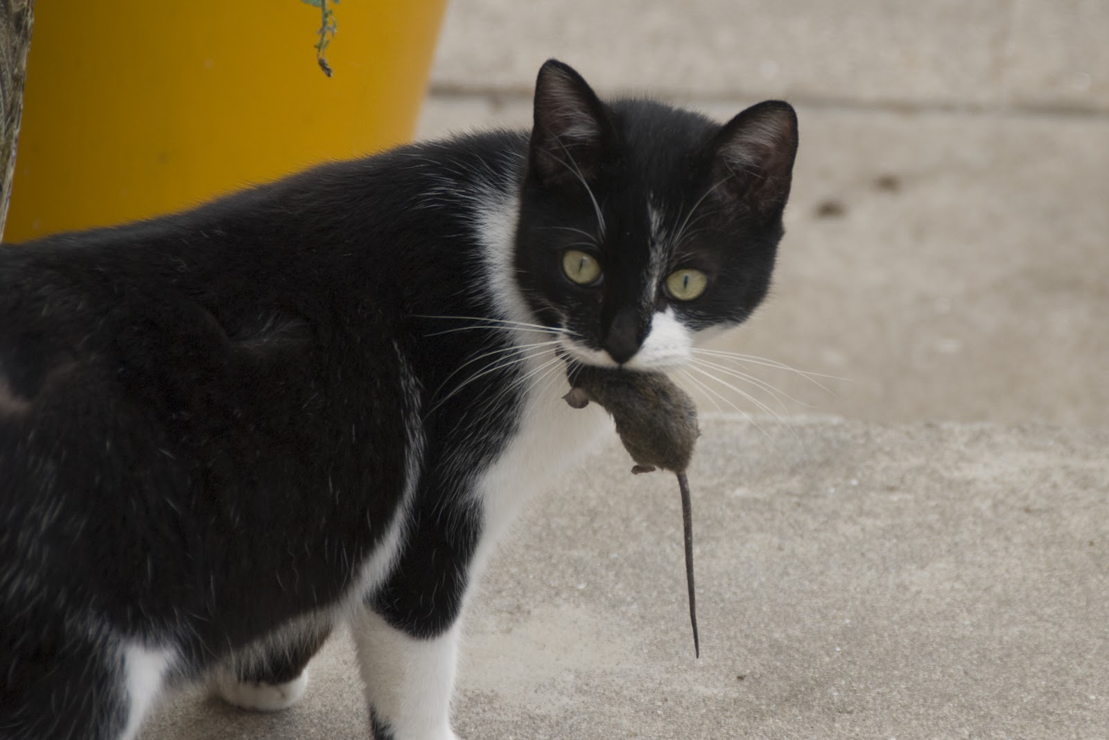 Ribadalagoa: Gato con guantes no caza ratones.