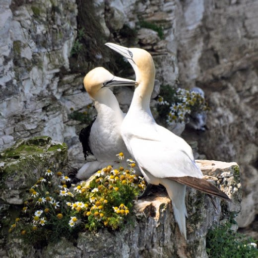 adult gannets grooming each other
