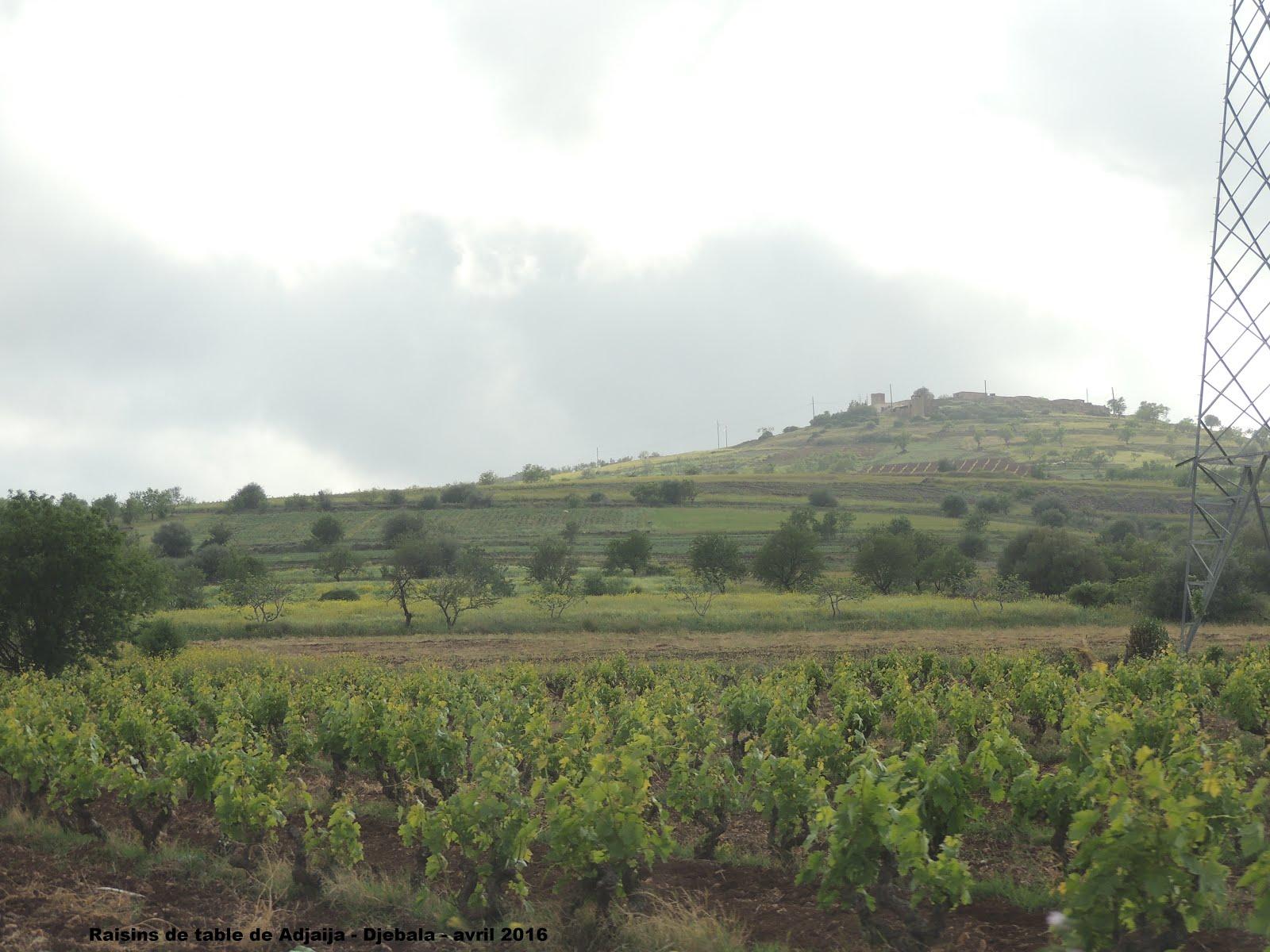 Adjaija - commune djebala - w de Tlemcen