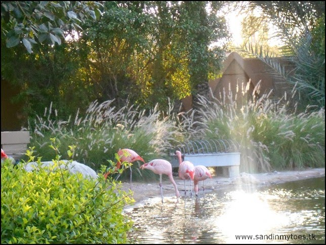 Al Ain Zoo flamingoes