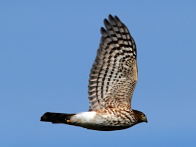 sharp-shinned hawk in flight over Hawk Ridge