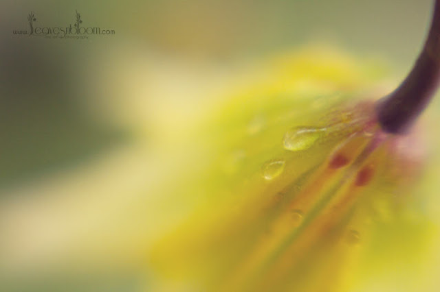 lensbaby blur - ethereal erythoniums
