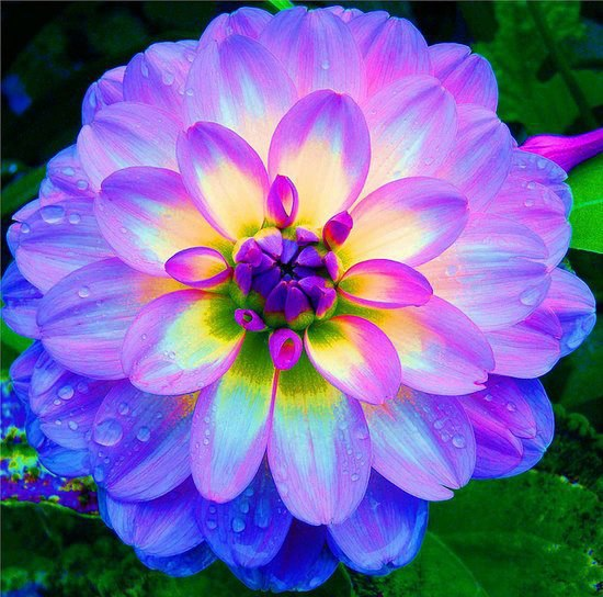 amazing-pictures-world-Dahlia