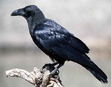 Foto del cuervo