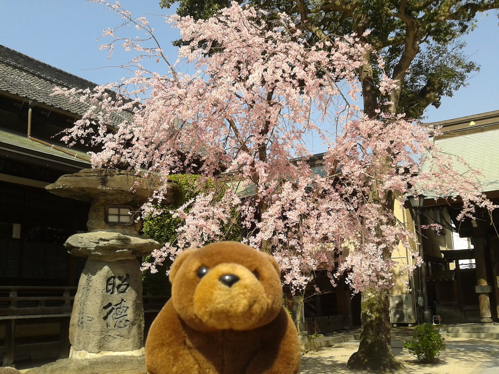 Teddy in Kushida Shrine, Fukuoka, Japan