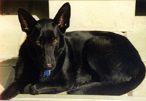 My Dog Shoba