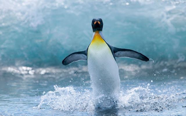 Beautiful close up photo of a penguin water skiing in the water