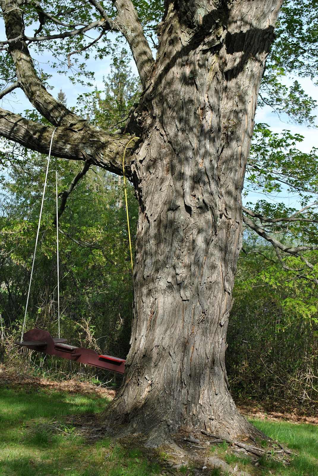 Shag Bark Maple http://ourmothersdaughters.blogspot.com/2011/05/how-to-tell-sugar-maple-post-with.html
