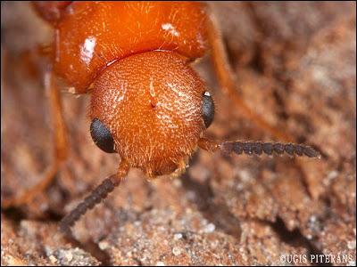 Lapkoku koksnurbis (Hylecoetus  dermestoides)