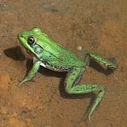 green frog amphibian