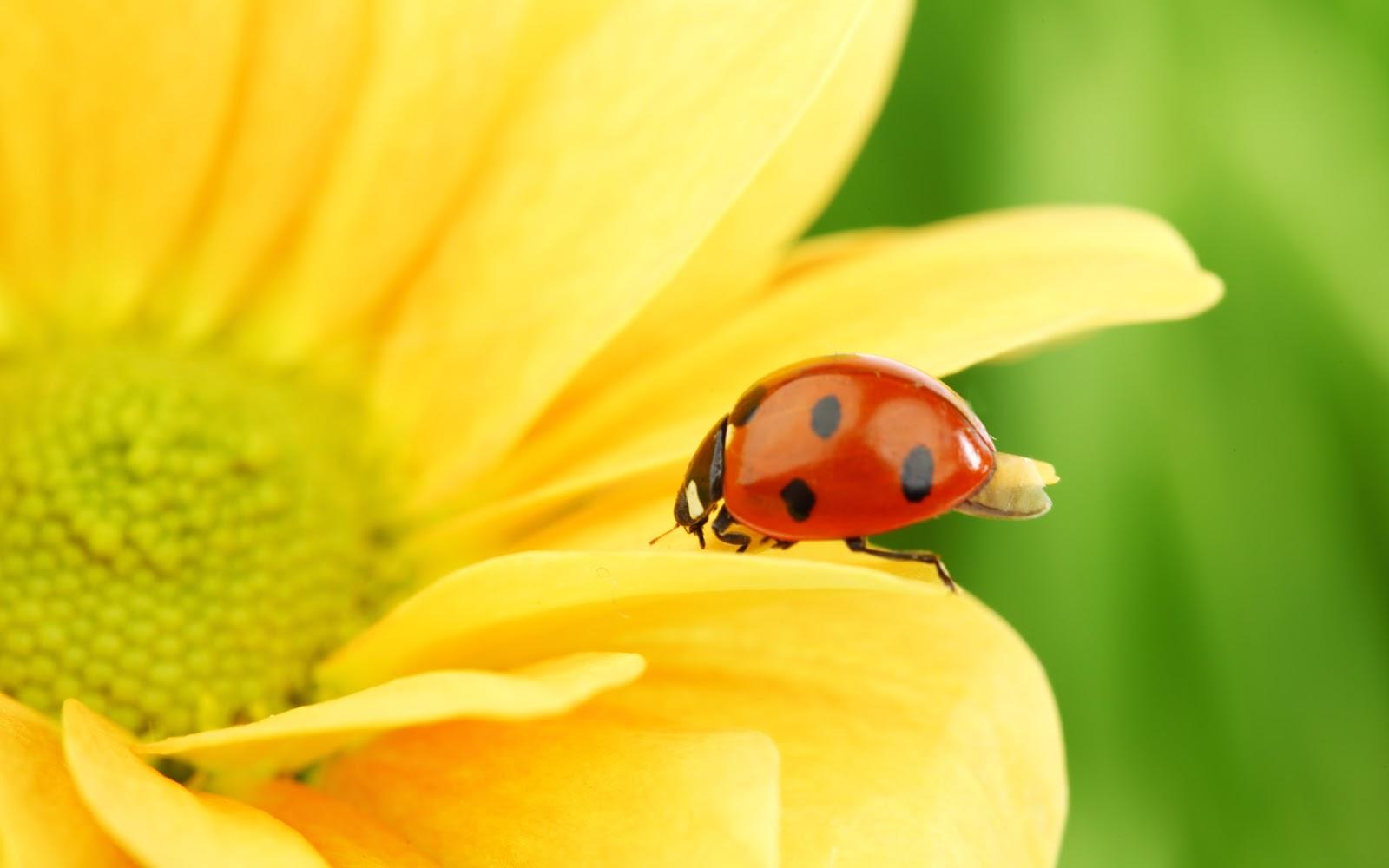 Sunflower and Ladybug Wallpaper Desktop HD