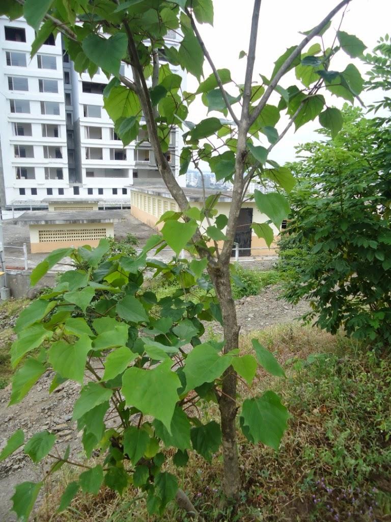 Pune, trees, Gmelina arborea, Verbenaceae