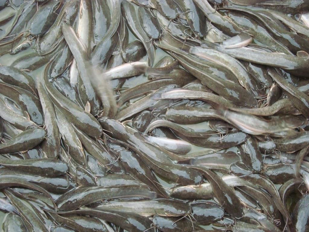 masa panen ikan lele